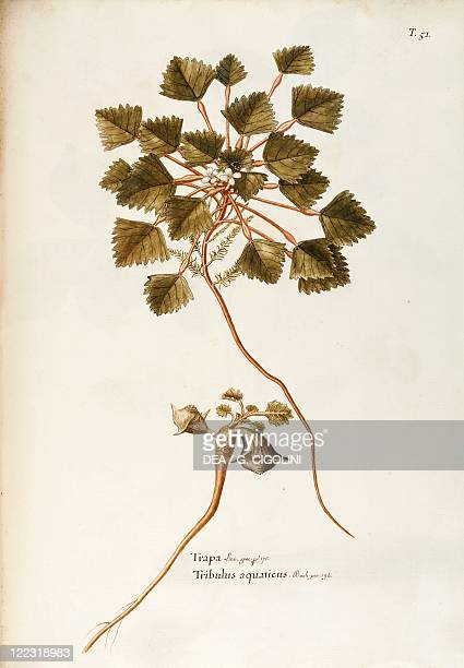 Herbal, 18th-19th century. Iconographia Taurinensis. Volume XXVII, Plate 5 by Giovanni Antonio Bottione: Trapaceae, Water Caltrop . Floating aquatic...
