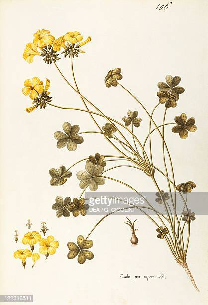 Herbal 18th19th century Iconographia Taurinensis Volume XXX Plate 106 by the School of Giovanni Antonio Bottione Bermuda buttercup Oxalidaceae...