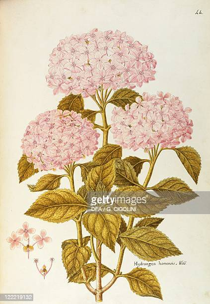 Herbal 18th19th century Iconographia Taurinensis Volume XXXVIII Plate 44 by Angela Rossi Bottione Bigleaf or French Hydrangea Hydrangeaceae Deciduous...