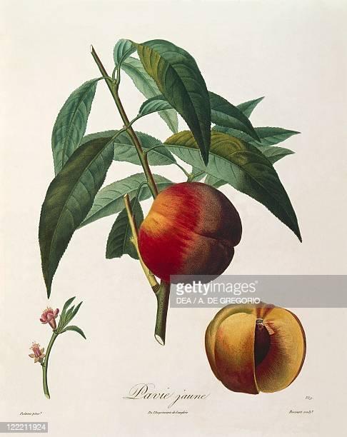 Herbal 19th century Henry Louis Duhamel du Monceau Traite' des Arbres et des Arbustes 1835 edition Plate by Antoine Poiteau Yellow peach Pavie Jaune