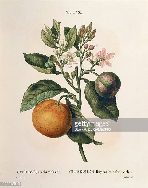 Herbal 19th century Henry Louis Duhamel du Monceau Traite des Arbres et des Arbustes 1800 edition Plate by Pierre Joseph Redoute Bitter orange with...