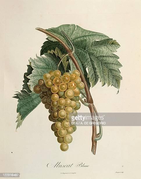 Herbal 19th century Henry Louis Duhamel du Monceau Traite des Arbres et des Arbustes 1835 edition Plate by Pierre Jean Francois Turpin White muscat...