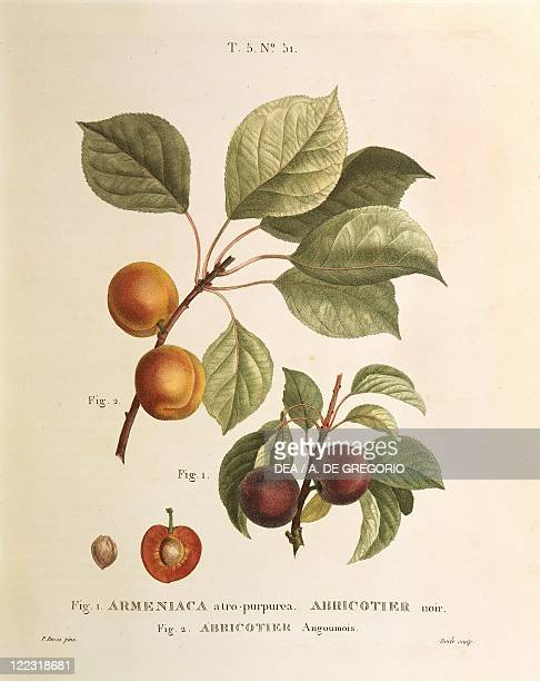 Herbal 19th century Henry Louis Duhamel du Monceau Traite des Arbres et des Arbustes 1800 edition Plate by Pierre Joseph Redoute Black Apricot and...