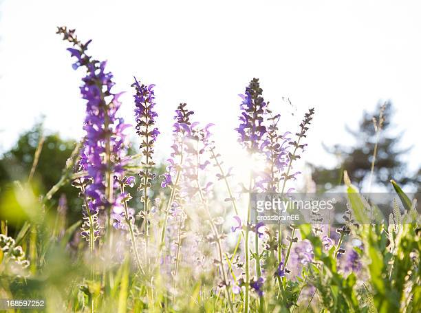 herbal flower meadow at sunset