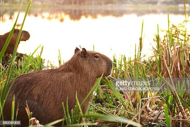 Herbivaro pet capybara
