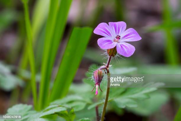 Herb-Robert / red Robin / death come quickly / storksbill / fox geranium in flower.