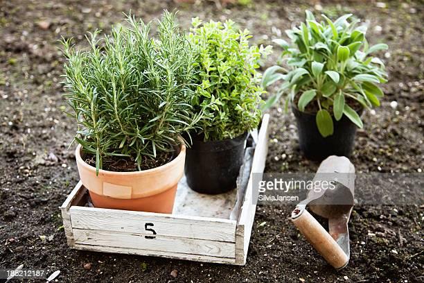 Plantes en pots de romarin et à la sauge, l'origan