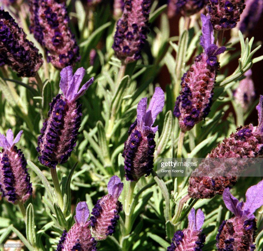 GKu2013Spanish Lavender, At Rogeru0027s Gardens