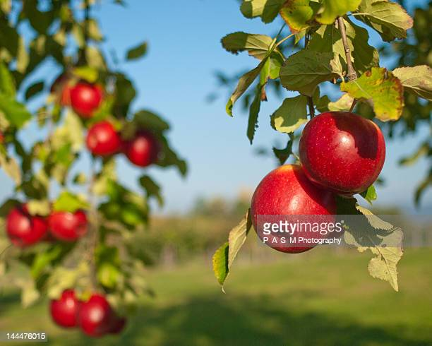 herbstfarben - appelboom stockfoto's en -beelden