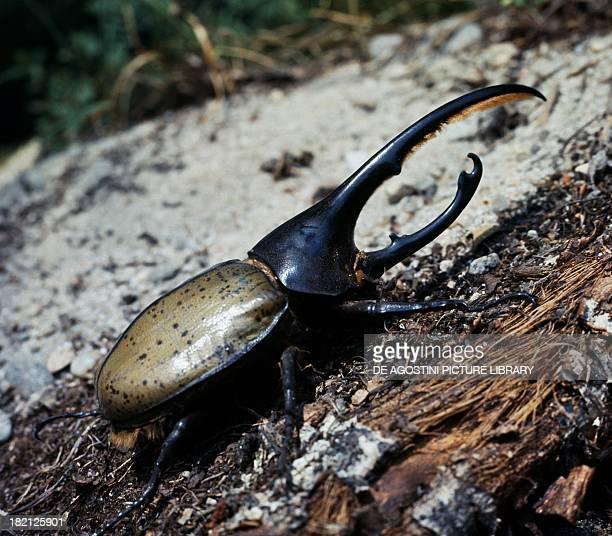 Hercules beetle Coleoptera