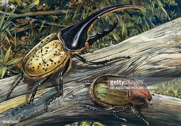 Hercules Beetle Scarabaeidae drawing