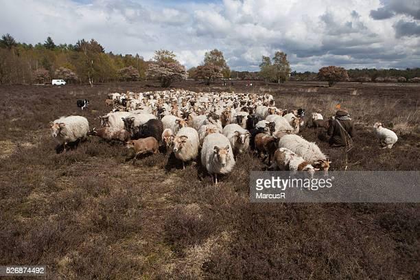 Herd crossing the heather