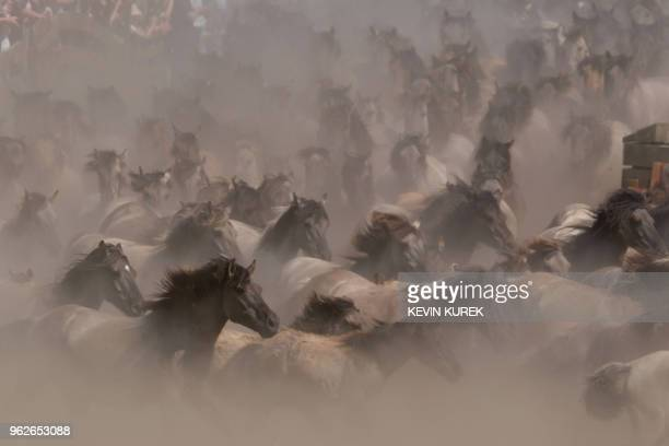 A herd gallops during a wild horse catch in an arena in Duelmen western Germany on May 26 2018 / Germany OUT