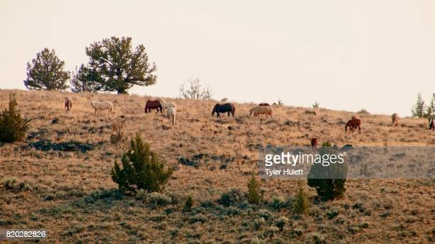 herd grazing 2 south steens hma wild horses steens mountain near malhuer wildlife refuge 4 - steens mountain stock pictures, royalty-free photos & images