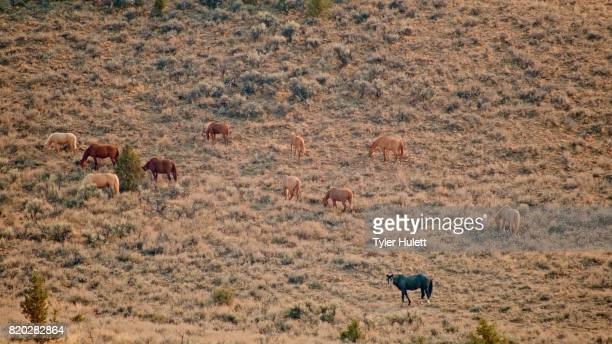 herd grazing 3 south steens hma wild horses steens mountain near malhuer wildlife refuge 15 - steens mountain stock pictures, royalty-free photos & images