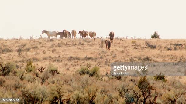 herd grazing 4 south steens hma migration 2 wild horses steens mountain near malhuer wildlife refuge 18 - steens mountain stock pictures, royalty-free photos & images
