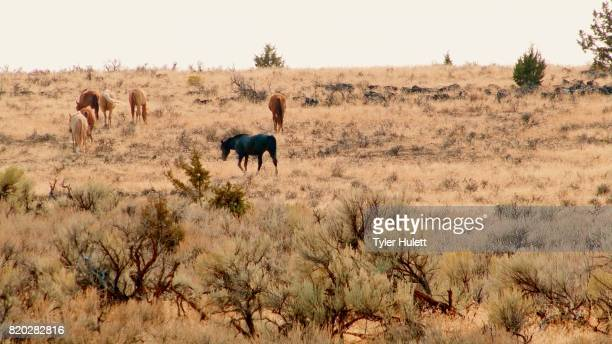herd grazing 4 south steens hma migration wild horses steens mountain near malhuer wildlife refuge 17 - steens mountain stock pictures, royalty-free photos & images