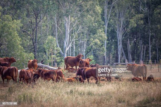 herd leader - lianne loach stock pictures, royalty-free photos & images