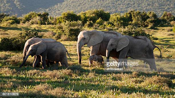 Herd of African Elephants, Aberdeen Plain, Eastern Cape, South Africa