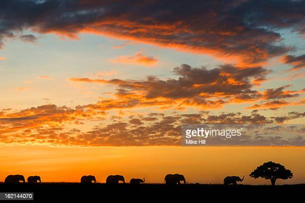 Herd of African elephants at sunrise