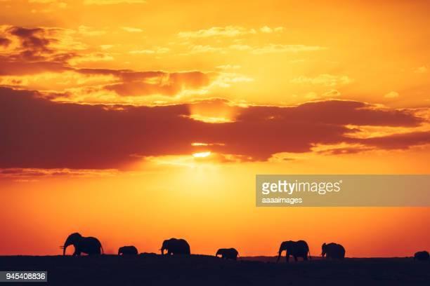 Herd of African elephants at sunrise/sunset