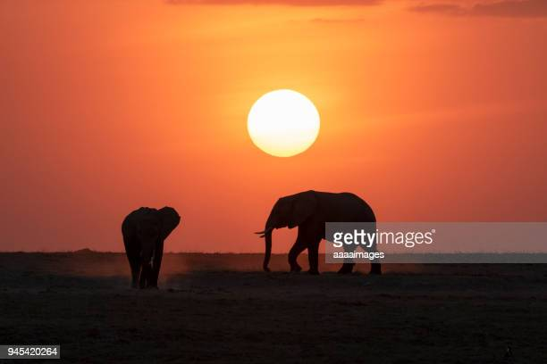 herd of african elephants at sunrise/sunset - tanzania fotografías e imágenes de stock