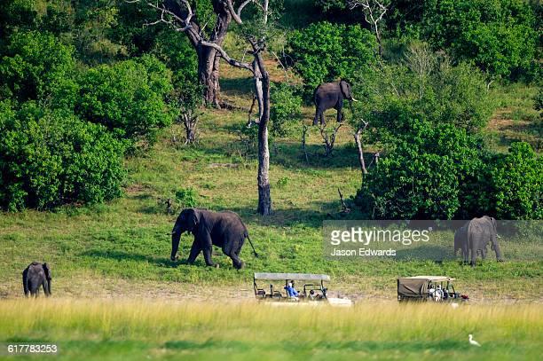A herd of African Elephants grazing on a floodplain near tourists in 4wd.
