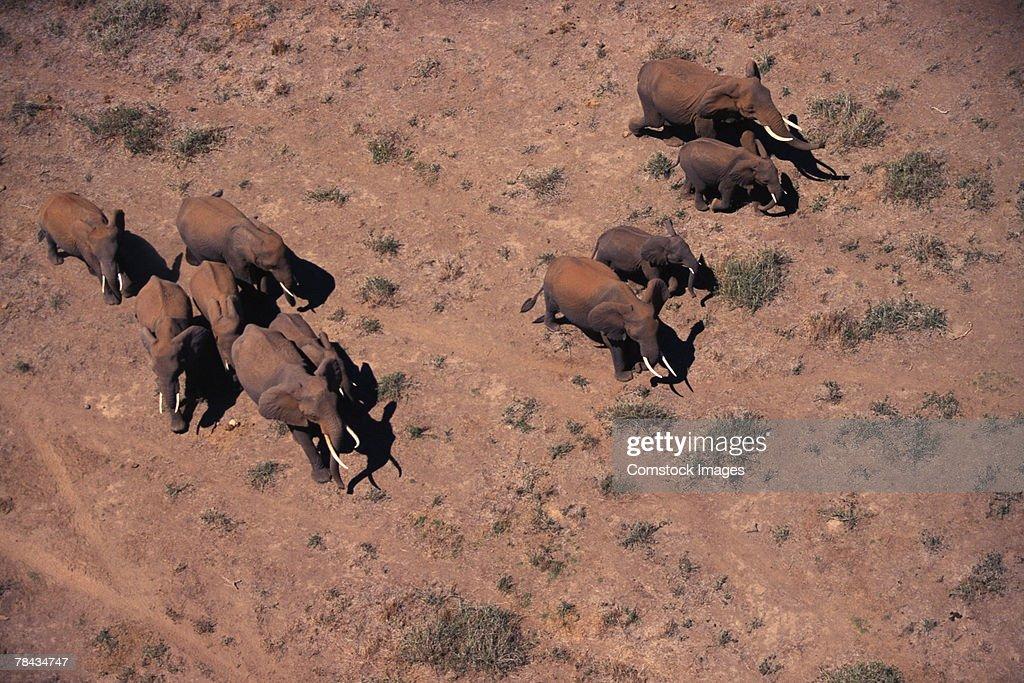 Herd of African elephants , Kenya , Africa : Stockfoto