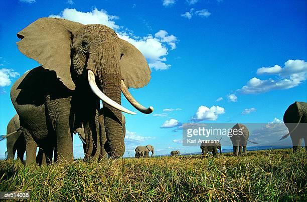 Herd of African Elephants (Loxodonta africana)