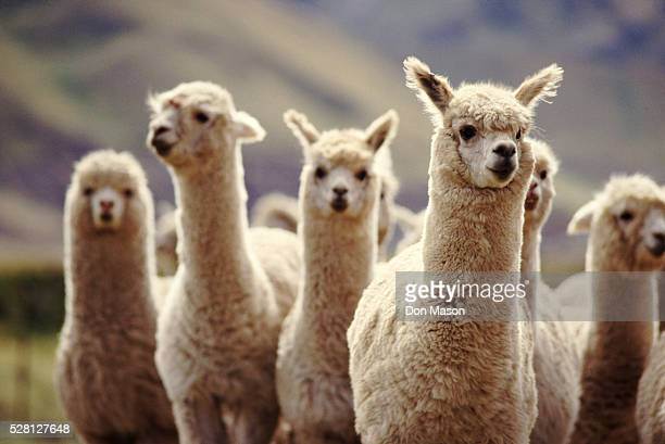 a herd of alpaca - lama stock pictures, royalty-free photos & images