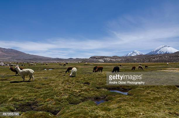 herd of alpacas near parinacota, chile - alpaga photos et images de collection