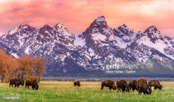 herd of american bison grazing field with snowcapped mountains in background - mamífero ungulado - fotografias e filmes do acervo