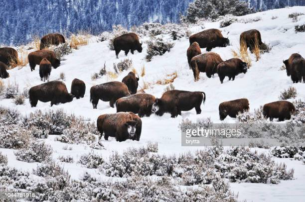 Troupeau de bisons d'Amérique dans le Yellowstone National Park, Etats-Unis