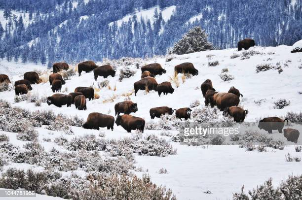 herd of american bison in the yellowstone national park, usa - buffalo stock pictures, royalty-free photos & images
