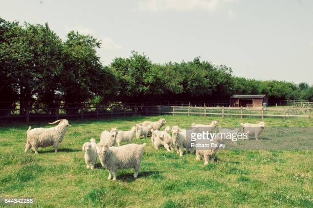 A herd of Angora goat in a field in Suffolk.