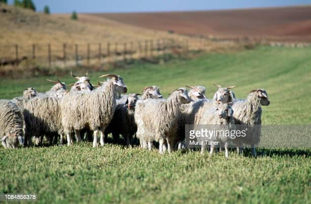 Herd of Angora goats