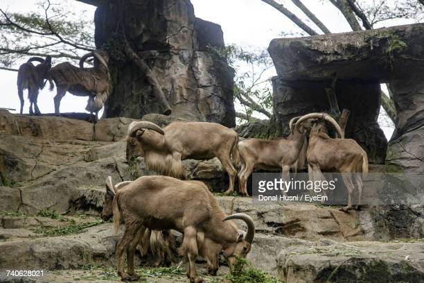 Herd Of Barbary Sheep On Rock Formation