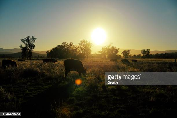 herd of beef cattle at sunrise in the field - cattle stock pictures, royalty-free photos & images