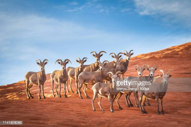 herd of bighors on desert terrain - mammal stock pictures, royalty-free photos & images
