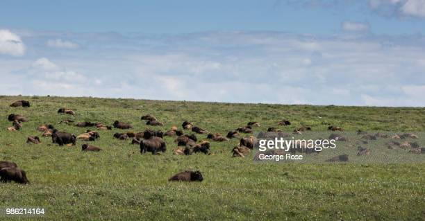 A herd of bison can be see from Highway 2 on June 20 near Browning Montana Home to Glacier National Park St Mary and dozens of popular tourist towns...