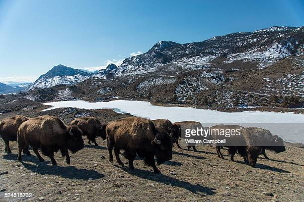A herd of bison from Yellowstone National Park pass by Cutler Lake in the Gallatin National Forest in the Gardiner Basin expanded tolerance zone...