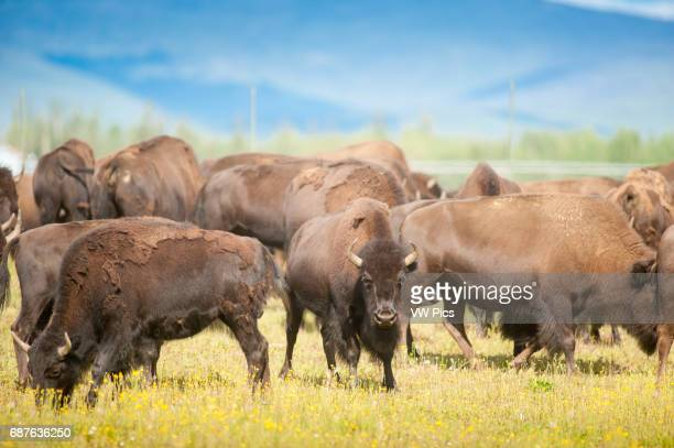 Herd of bison gathered in an open field near Delta Junction Alaska