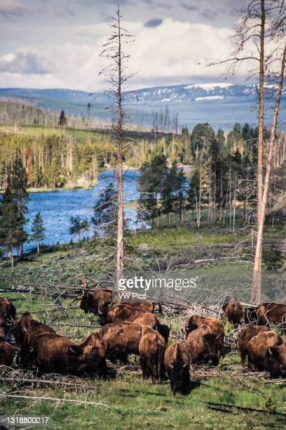 Herd of bison graze in the area of an old wildfire in Yellowstone National Park in Wyoming, USA..