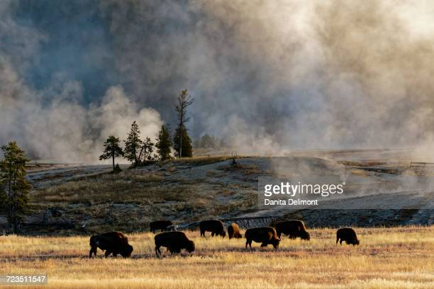 Herd of Bison (Bovinae) near Old Faithful Geyser, Upper Geyser Basin, Yellowstone National Park, Montana, Wyoming, USA