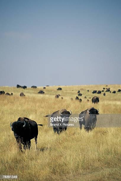 Herd of bison, North Dakota