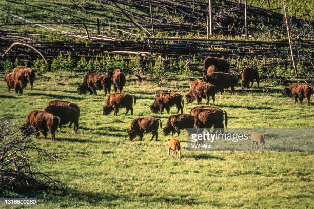 Herd of bison with young calves graze a meadow in Yellowstone National Park in Wyoming, USA..