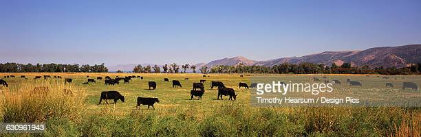 A herd of Black Angus cattle grazes in a meadow, hills and blue sky beyond