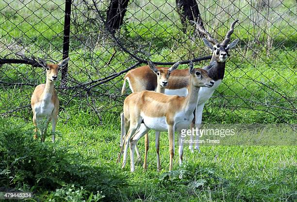 A herd of Black Buck dears grazing in wildlife century at Ralamandal on July 2 2015 in Indore India The wildlife century that is home of animals like...