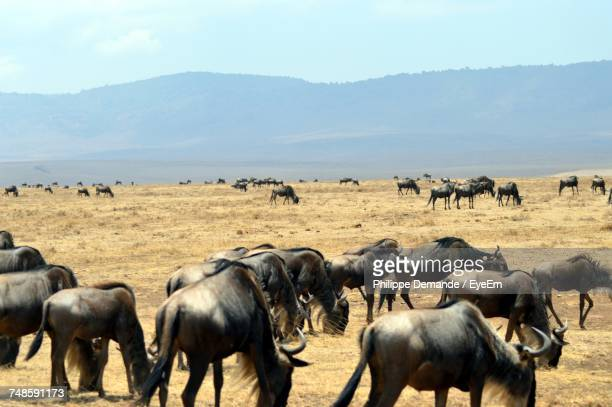 herd of black wildebeest grazing on grassy field against sky - gras stock pictures, royalty-free photos & images