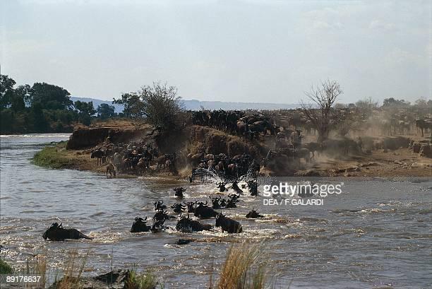 Herd of Blue Wildebeest crossing a river Mara River Kenya
